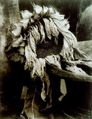 Steichen Sunflower 1920